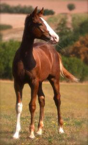 Quarter Horse zu verkaufen
